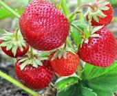 De ce este bine să speli căpșunile în apă cu sare